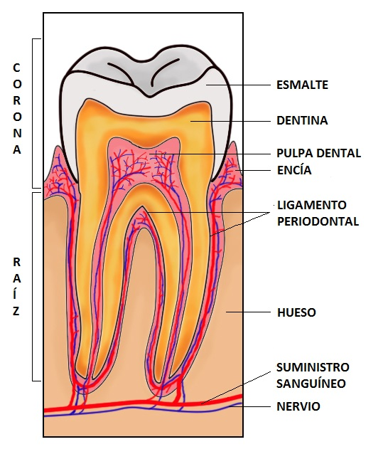 Caries dental delta ebre cl nica dental - Pagine di colorazione dei denti ...